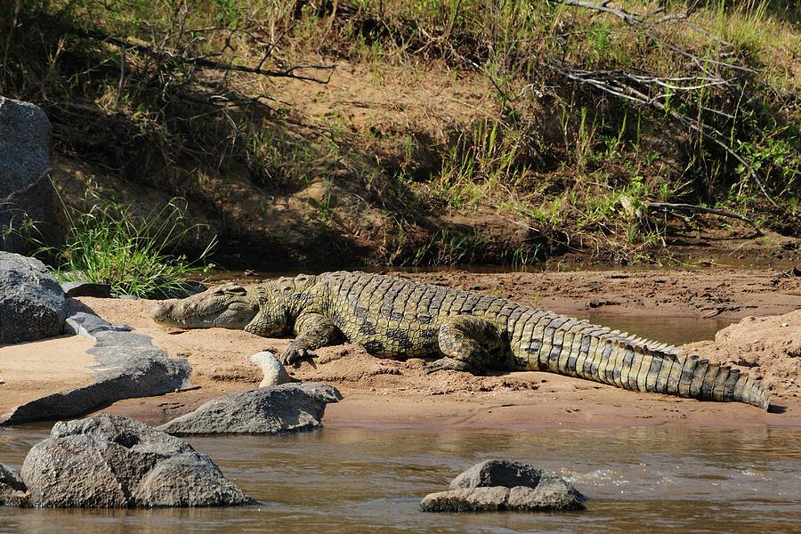 Nile Crocodile Photograph by Tom Schwabel