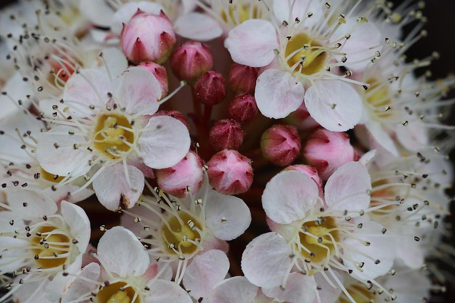 Nine Bark Bloom by TJ Fox