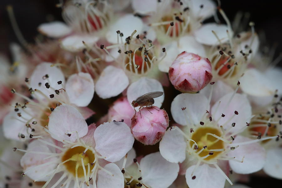Nine Bark Bloom with Fly by TJ Fox