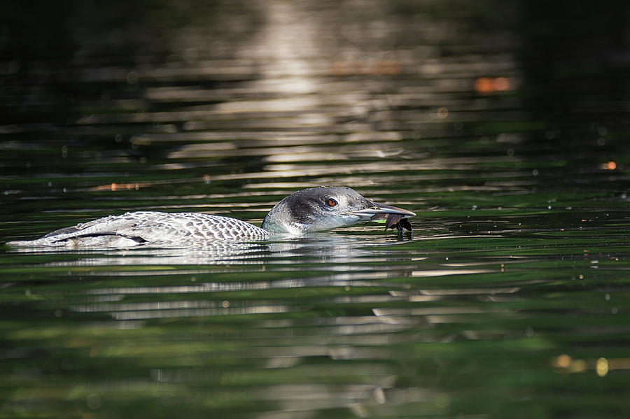 No Luck - Common Loon - Gavia Immer by Spencer Bush