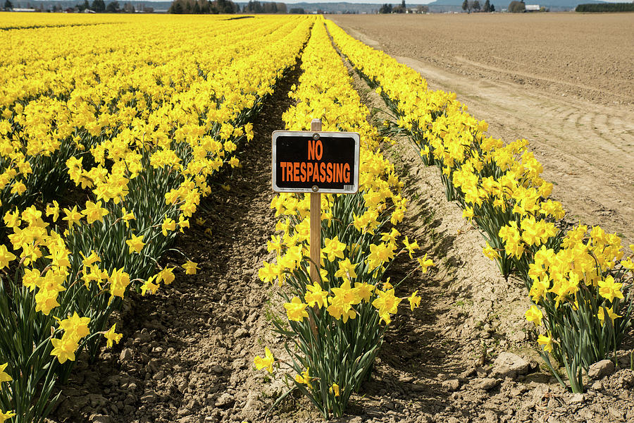 No Trespassing in the Daffodils by Tom Cochran