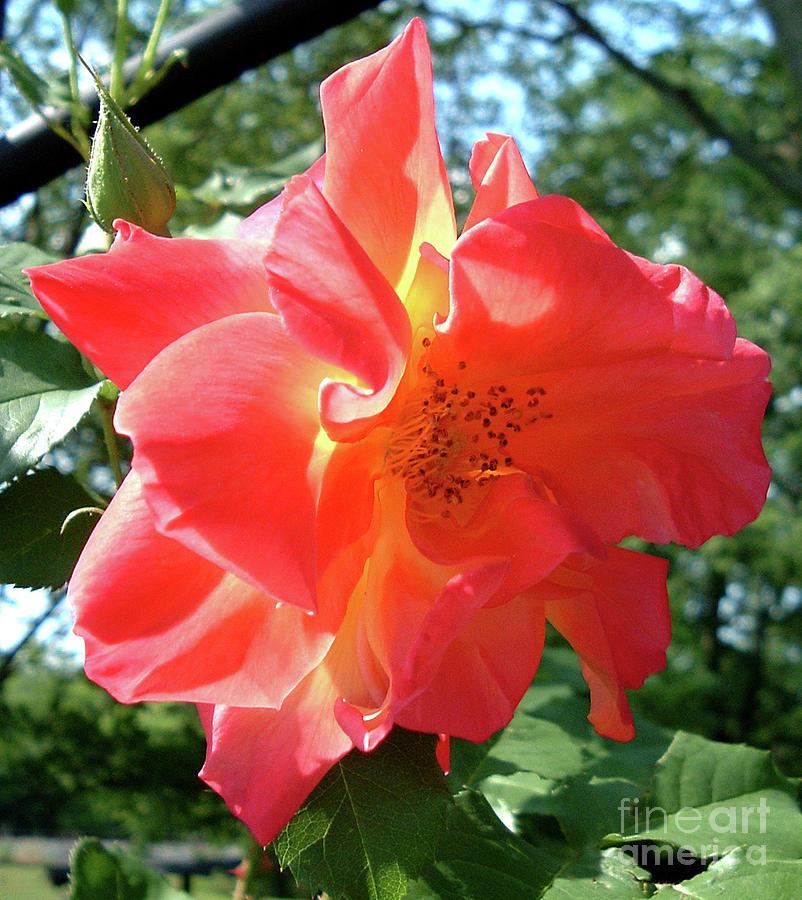 Noon Time Rose by Belinda Landtroop