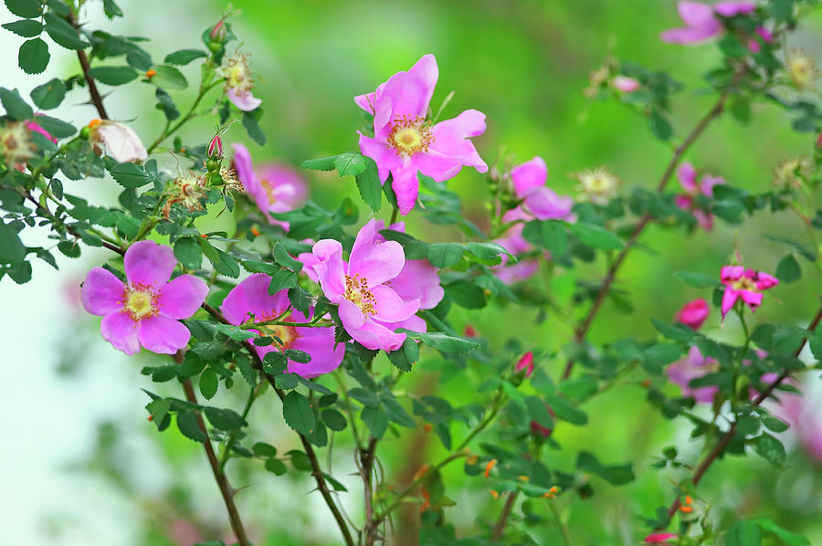 Nootka Rose Bush Rosa nutkana by Sharon Talson