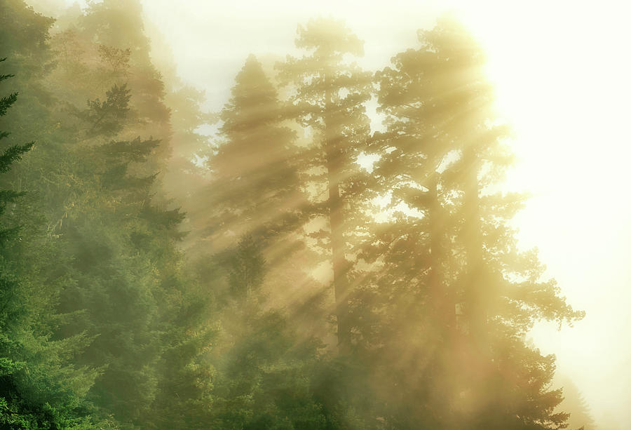 NorCal Redwoods #2 by Joseph S Giacalone