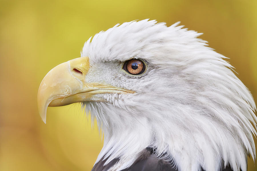 North American Bald Eagle in profile by Jim Hughes