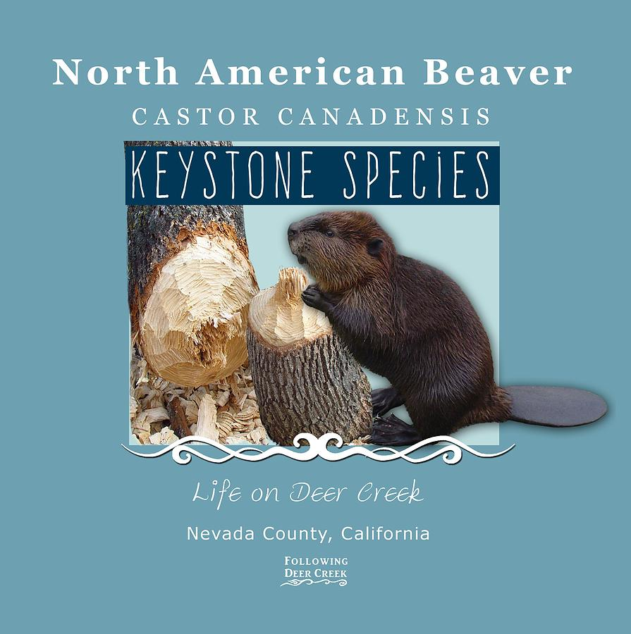 North American Beaver by Lisa Redfern