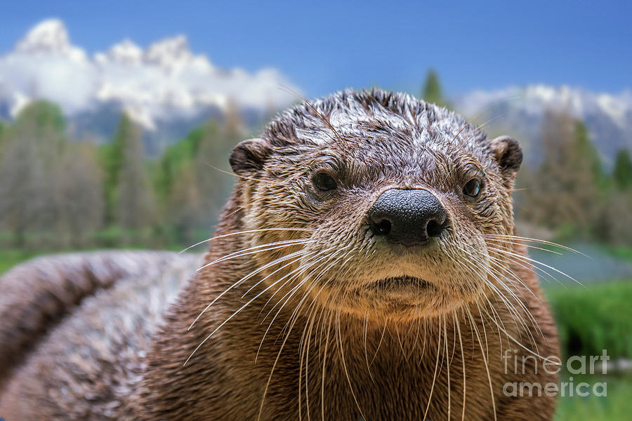North American River Otter Photograph - North American River Otter by Arterra Picture Library