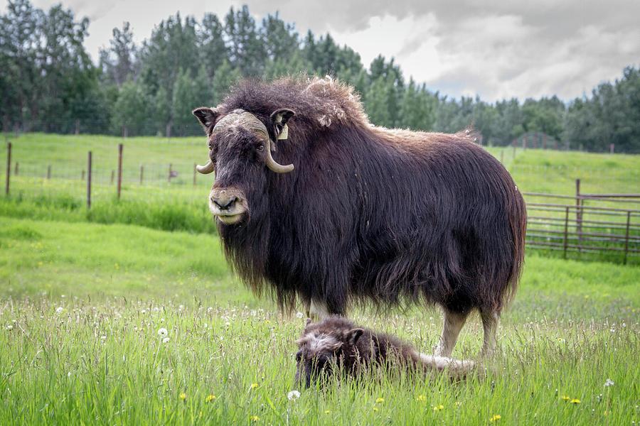 North American Wildlife Alaskan Musk Ox And Calf ...