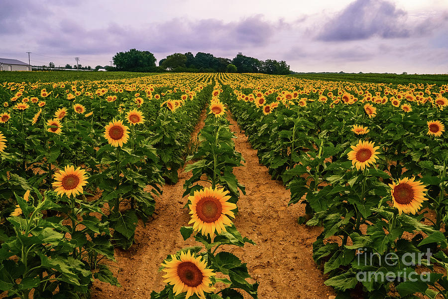 North Fork Sunflowers by Sean Mills