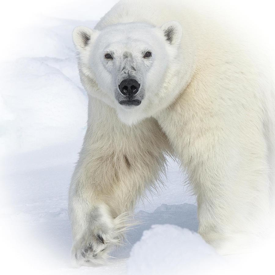 North Polar Bear stare by Steven Upton