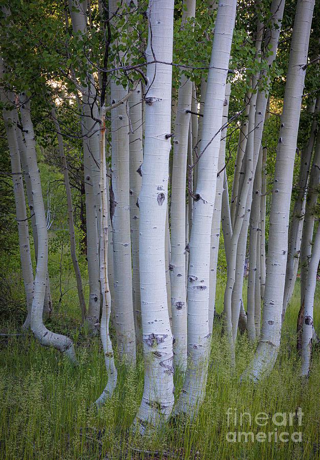 America Photograph - North Rim Birch Trees by Inge Johnsson