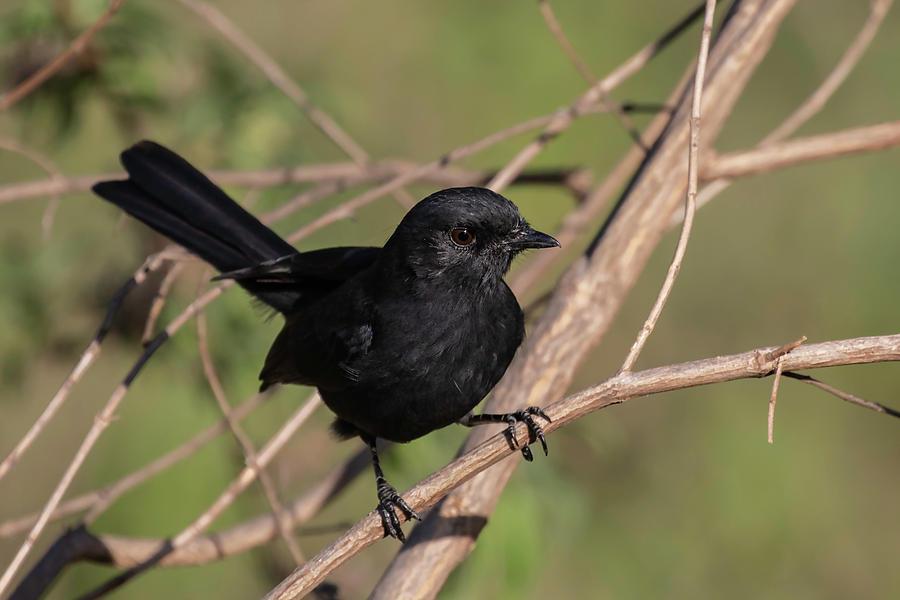 Northern Black Flycatcher by Thomas Kallmeyer