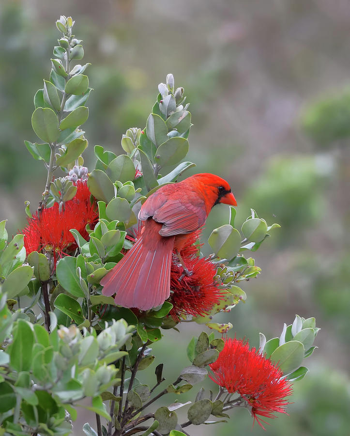 Northern Cardinal on Ohia Lehua Flower by Pamela Walton