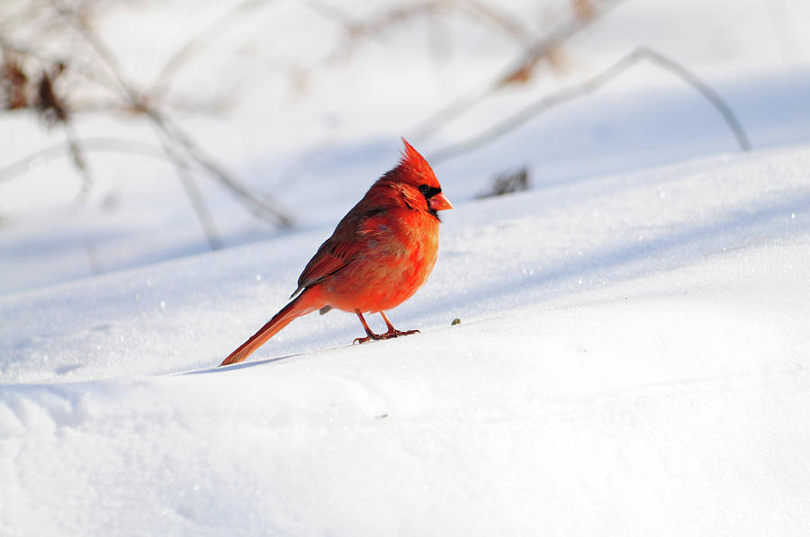 Nature Photograph - Northern Cardinal on Snow by Mike Martin