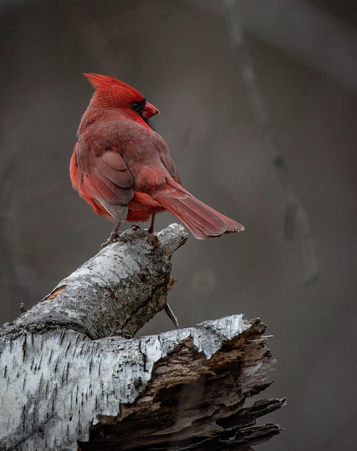 Northern Cardinal on White Birch by Hershey Art Images
