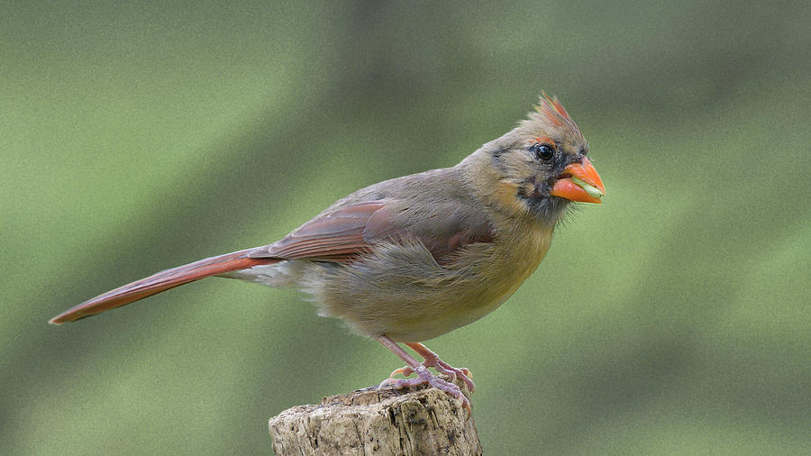 Northern Cardinal  by Philip Duff