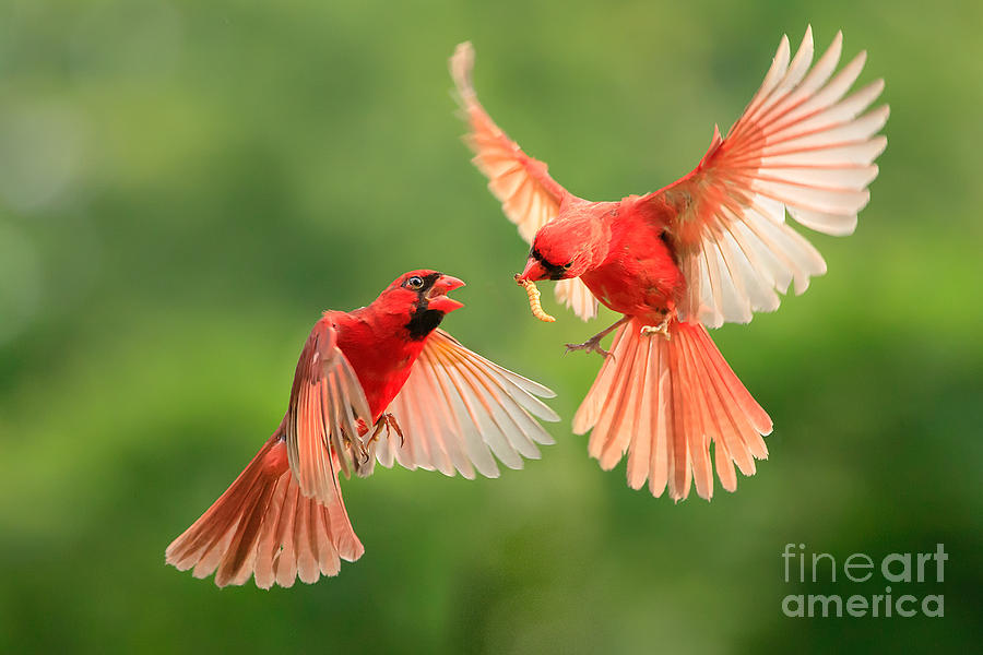 Studio Photograph - Northern Cardinal, Wildlife by Jesse Nguyen
