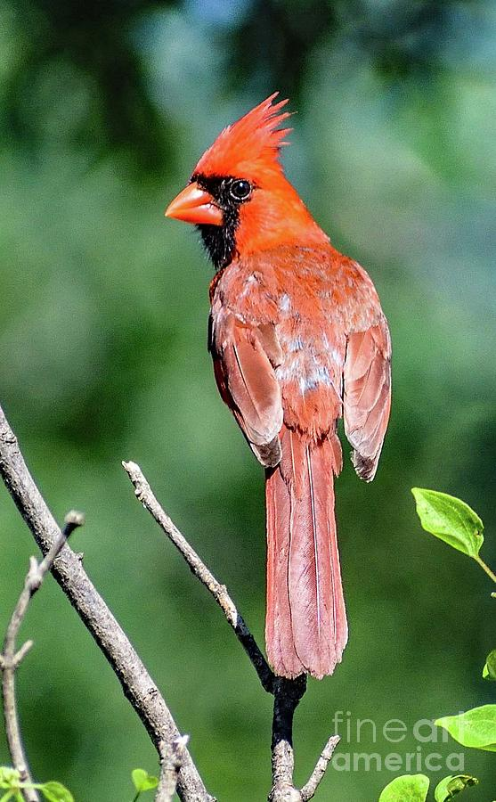 Northern Cardinal With Backward Glance by Cindy Treger