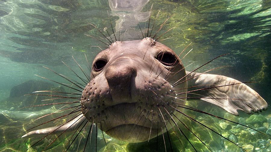 Northern Elephant Seal Photograph by James R.d. Scott