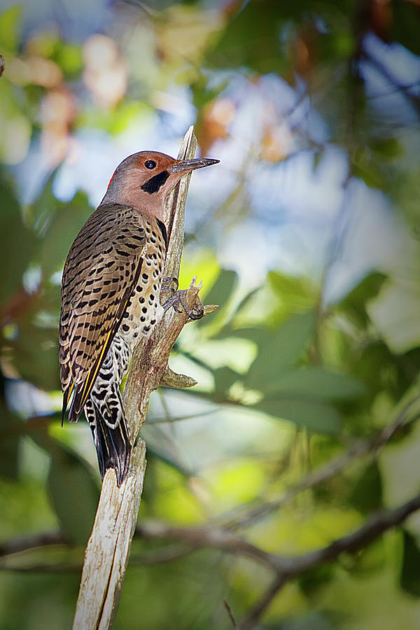 Northern Flicker by Bob Decker
