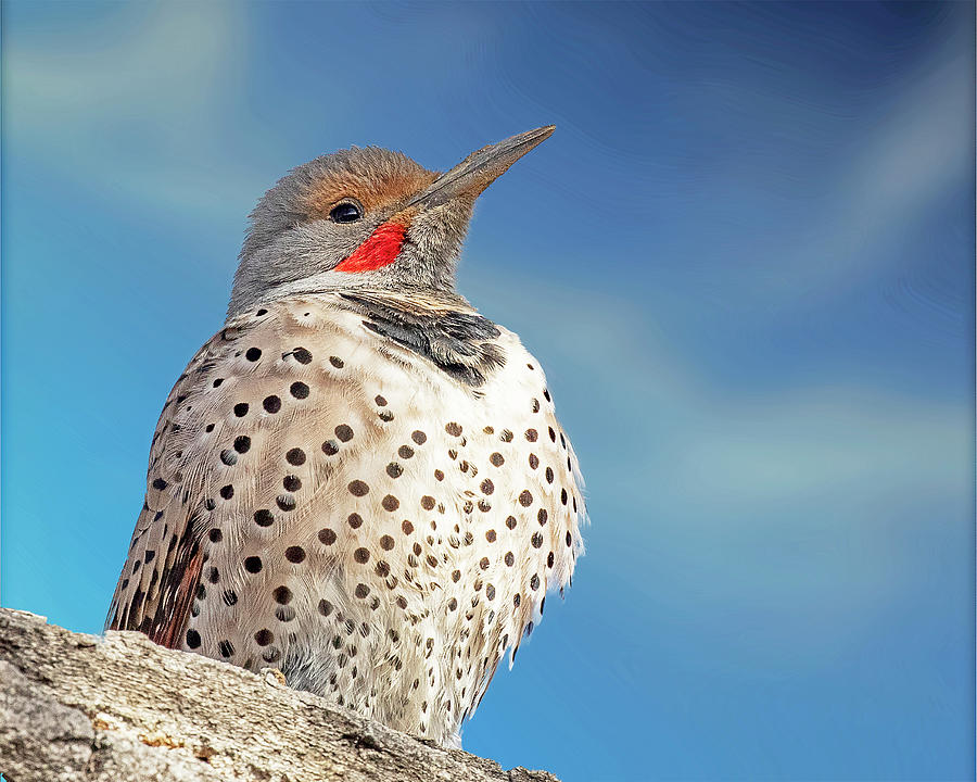 Northern Flicker Close Up by Lowell Monke