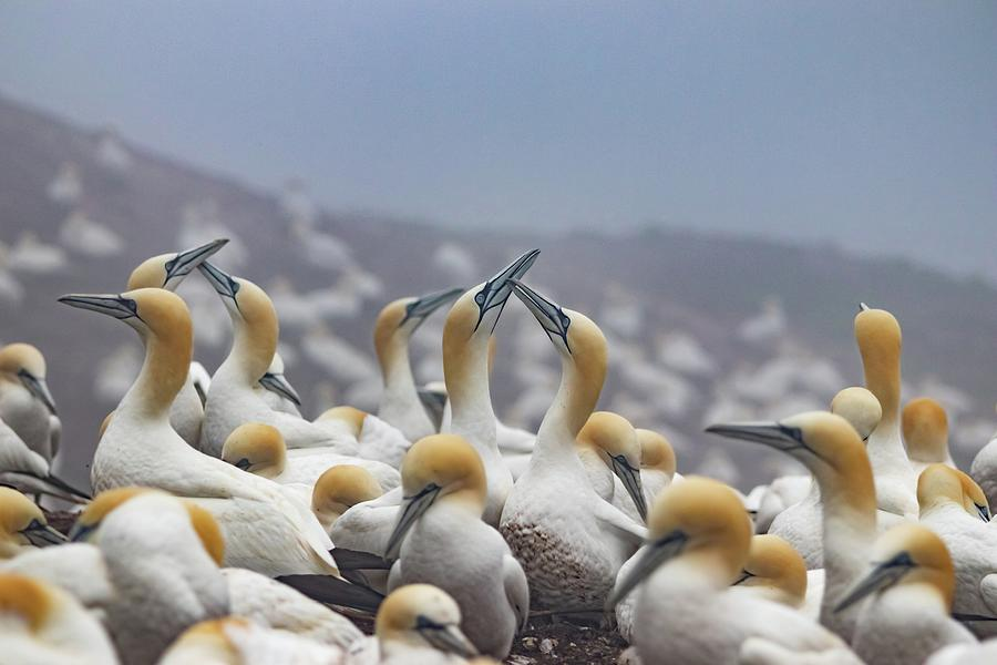 Northern Gannet Photograph - Northern Gannet Colony Bonaventure Island by Marlin and Laura Hum