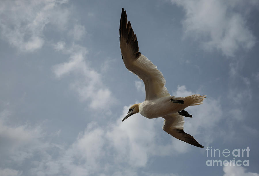 Northern Gannet in Flight by Eva Lechner