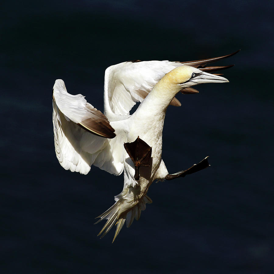 Northern Gannet Photograph - Northern Gannet - Square Crop by Grant Glendinning