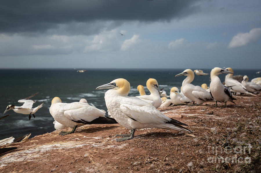 Northern Gannets on Helgoland by Eva Lechner