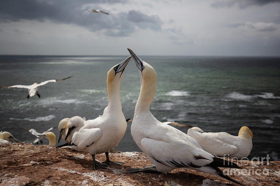 Northern Gannets'Greeting by Eva Lechner