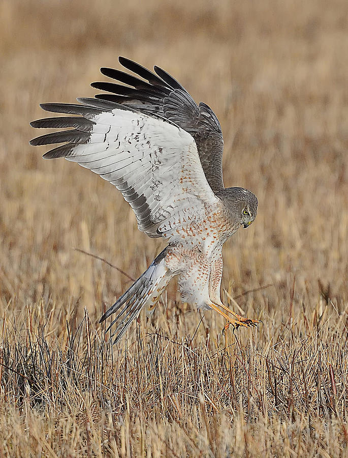 Northern Harrier Attacks by William Jobes
