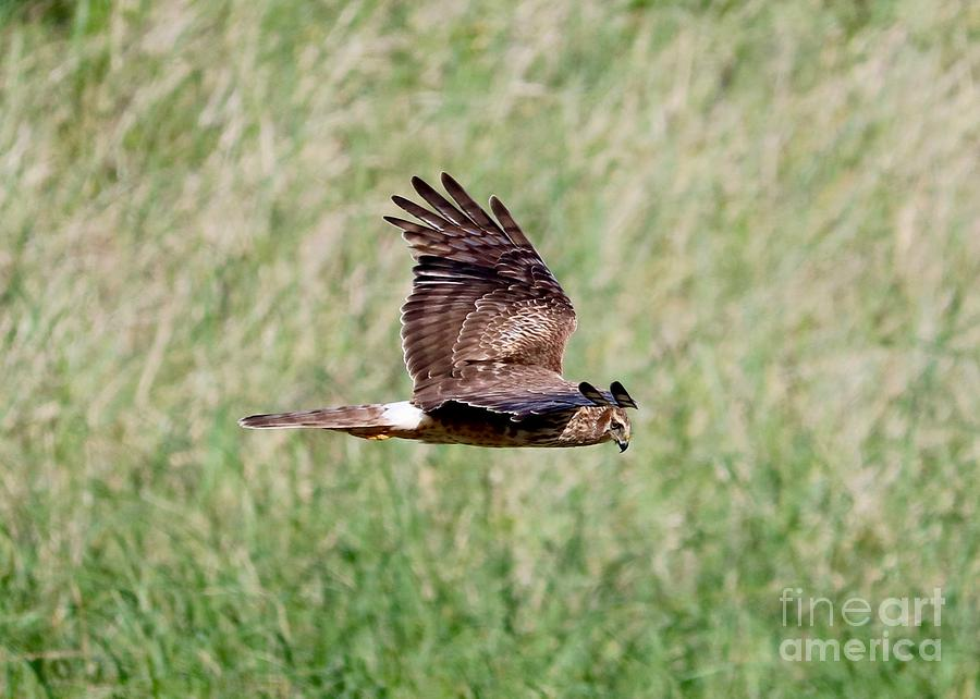 Northern Harrier Fly By by Carol Groenen