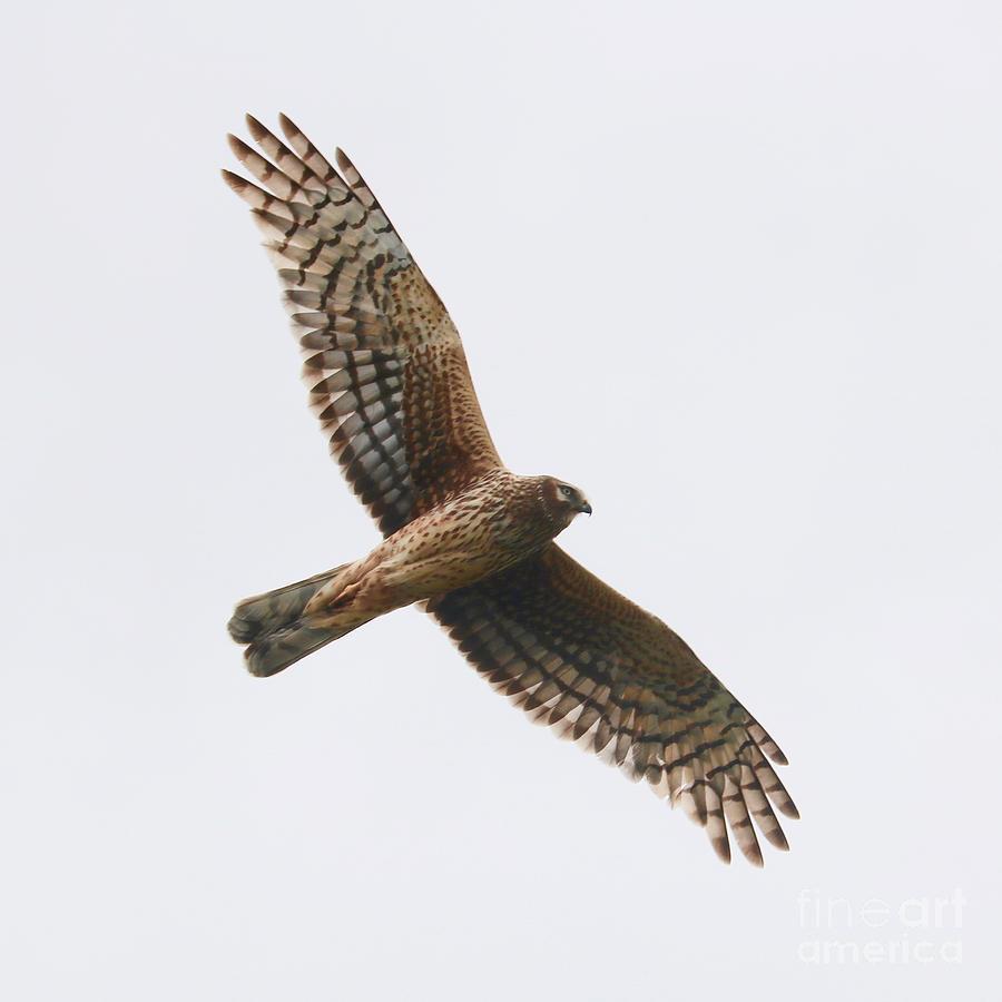 Northern Harrier in Flight by Carol Groenen