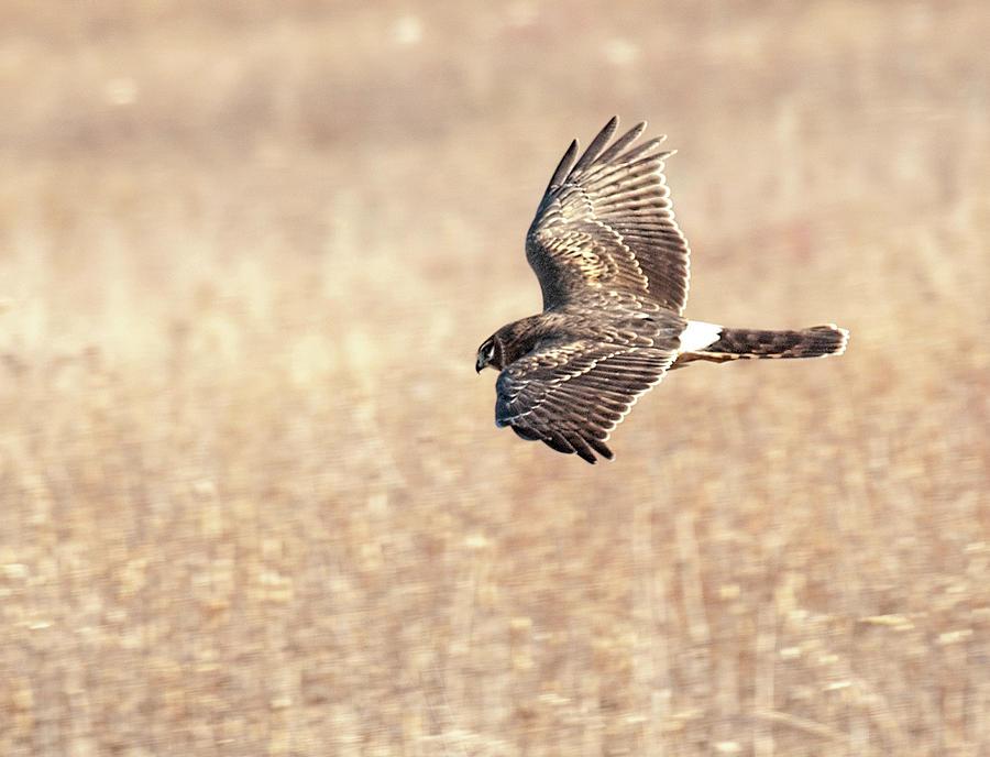 Northern Harrier The Hunt by Lara Ellis