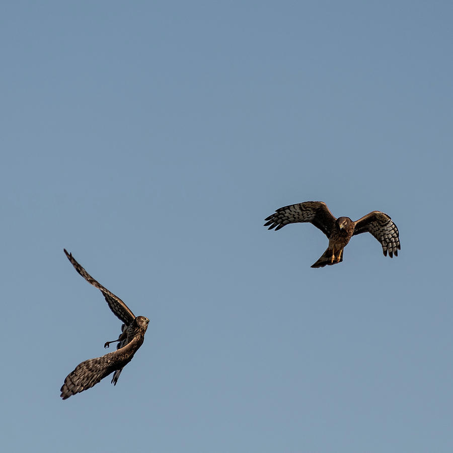 Northern Harriers 2 by Douglas Killourie