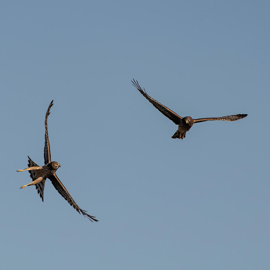 Northern Harriers 3 by Douglas Killourie