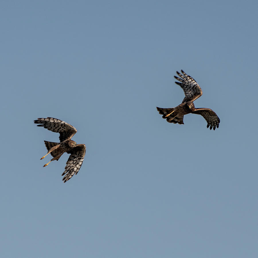Northern Harriers 4 by Douglas Killourie