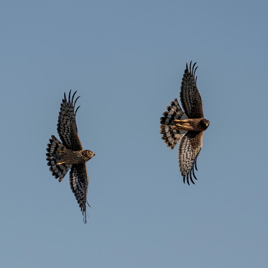 Northern Harriers 5 by Douglas Killourie
