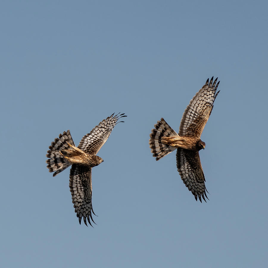 Northern Harriers 6 by Douglas Killourie