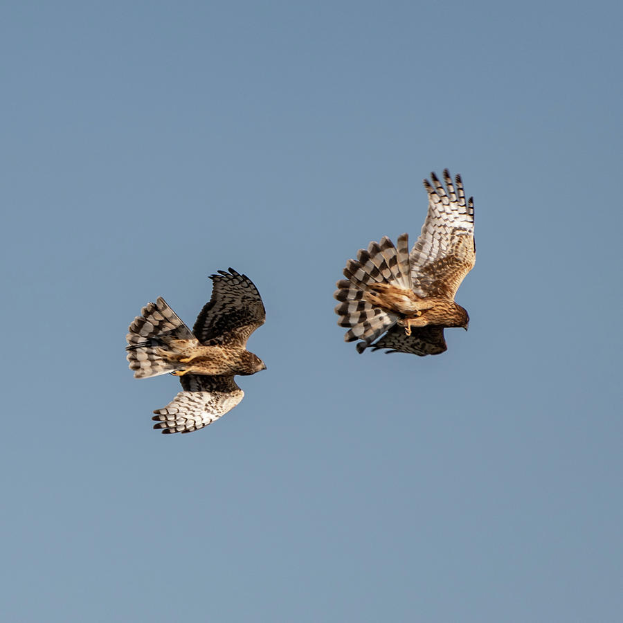 Northern Harriers 7 by Douglas Killourie