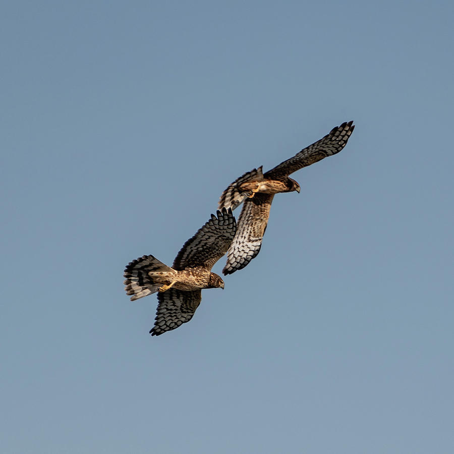 Northern Harriers 8 by Douglas Killourie