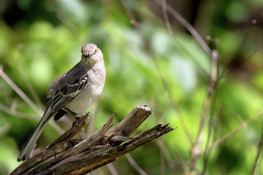 Northern Mockingbird Pose by Susan Rissi Tregoning