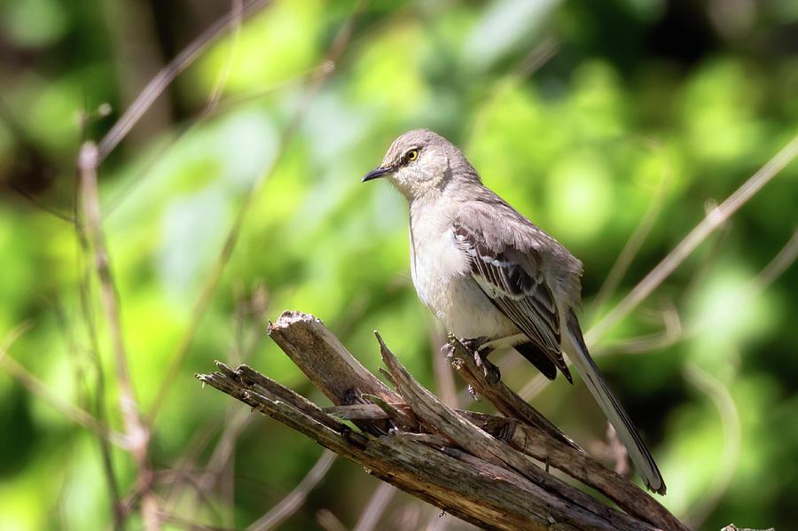 Northern Mockingbird by Susan Rissi Tregoning