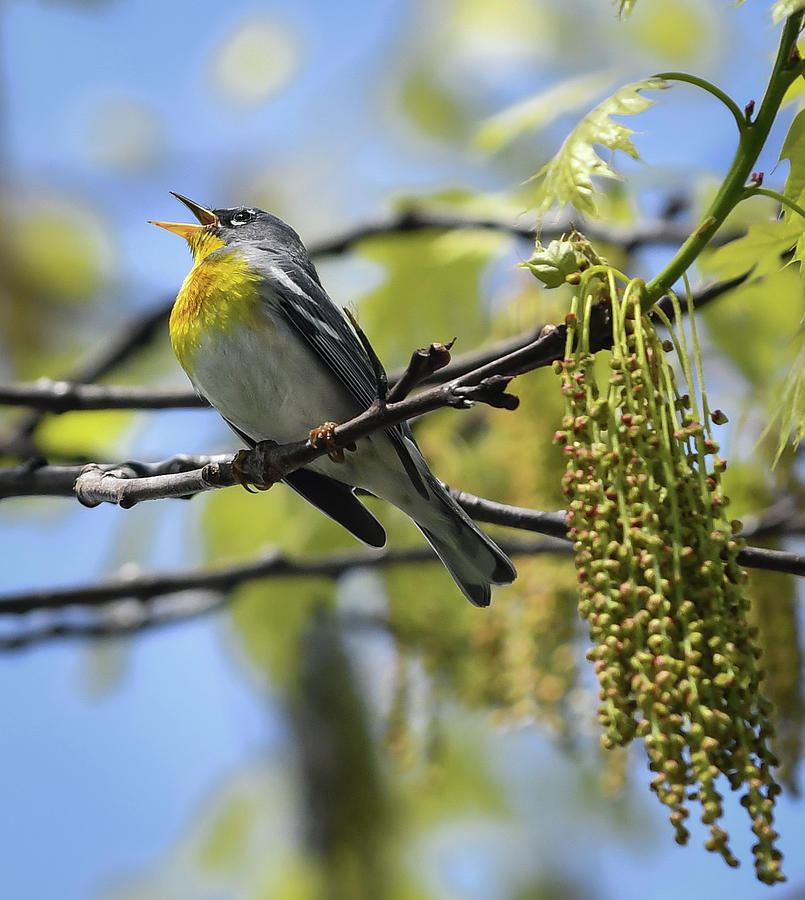 Northern Parula singing by Hershey Art Images
