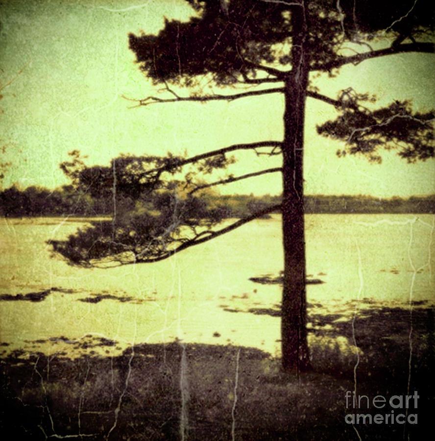 Northern Pine by RicharD Murphy