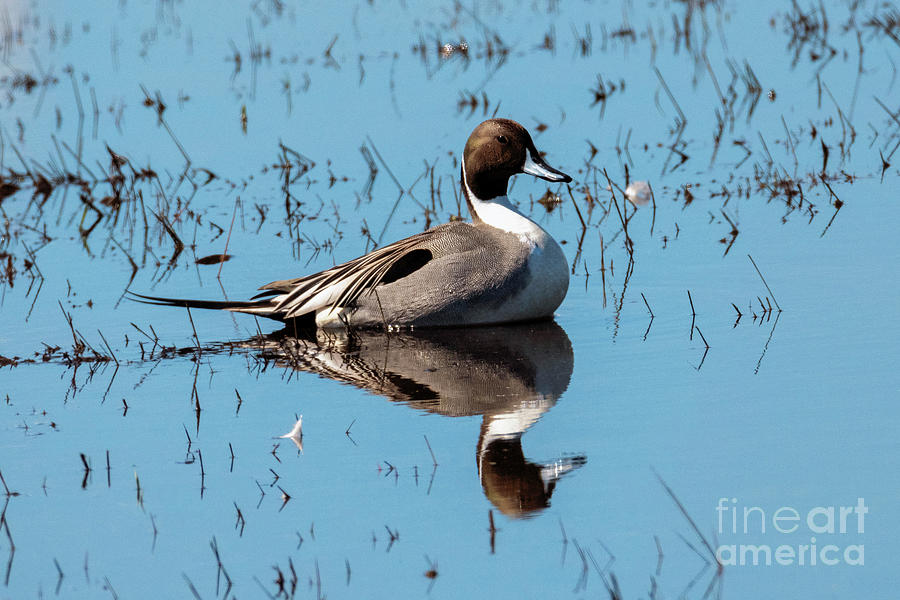 Northern Pintail Drake by Mike Dawson