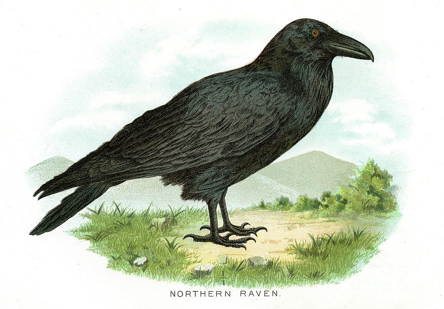 Northern Raven Bird Lithograph 1897 Digital Art by Thepalmer