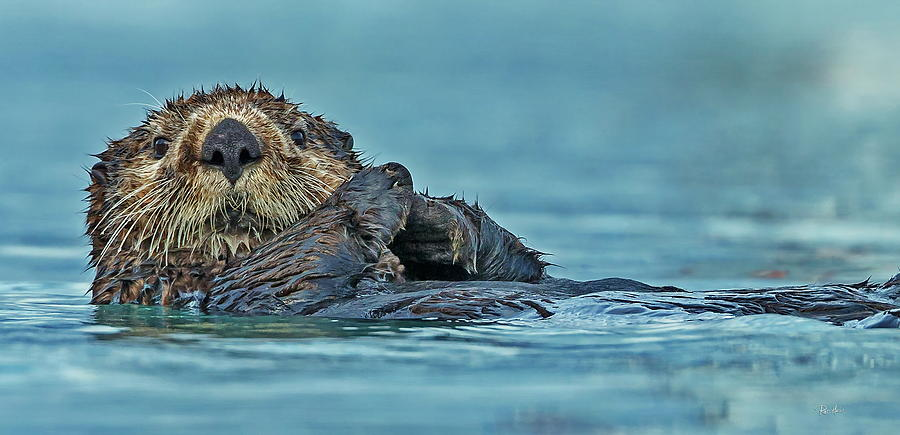 Northern Sea Otter in Alaska by Russ Harris