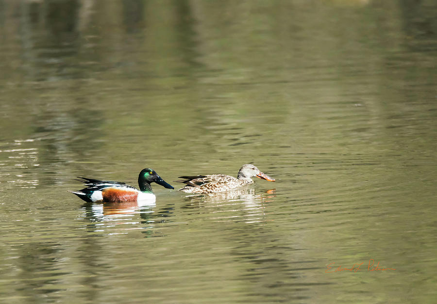Northern Shoveler Pair by Edward Peterson