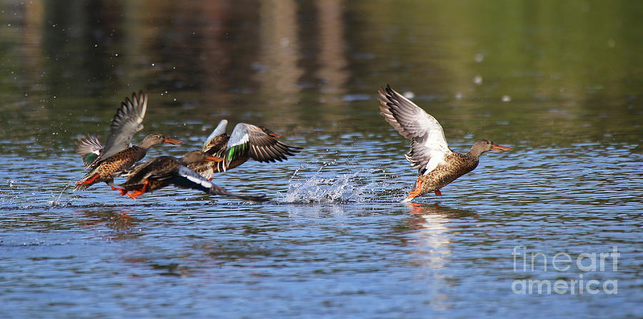 Northern Shoveler by Sue Harper